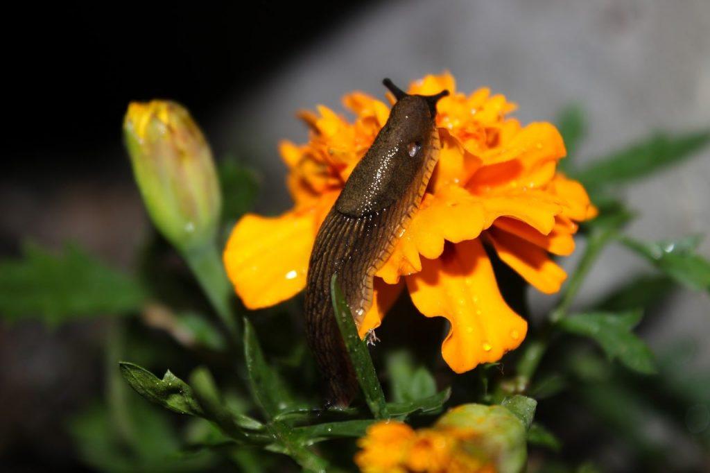 slug in the garden