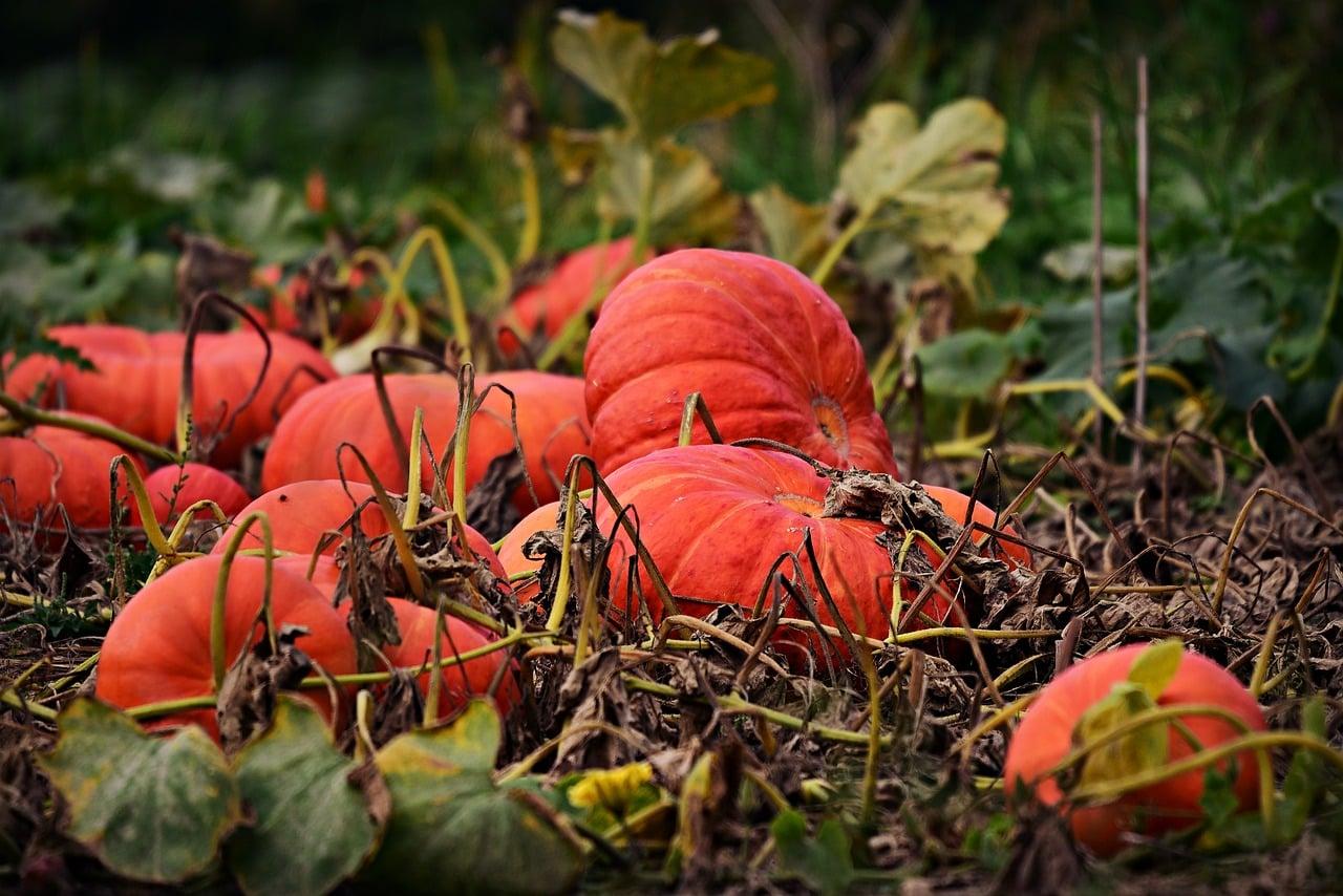 pumpkins in vegetable garden