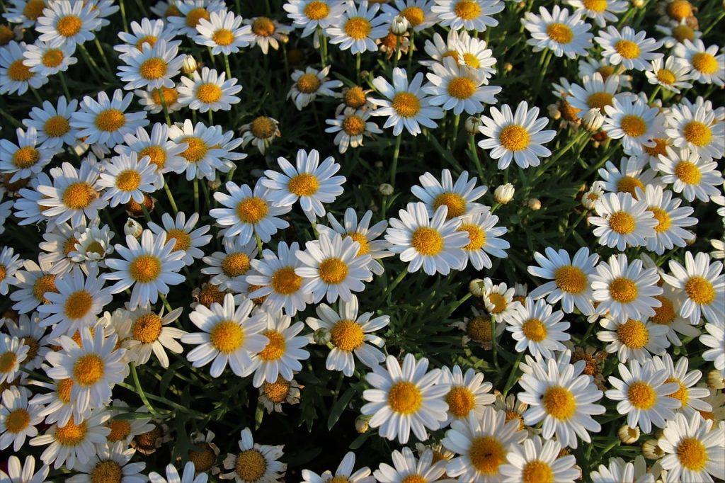 Chamomile wild flowers in garden