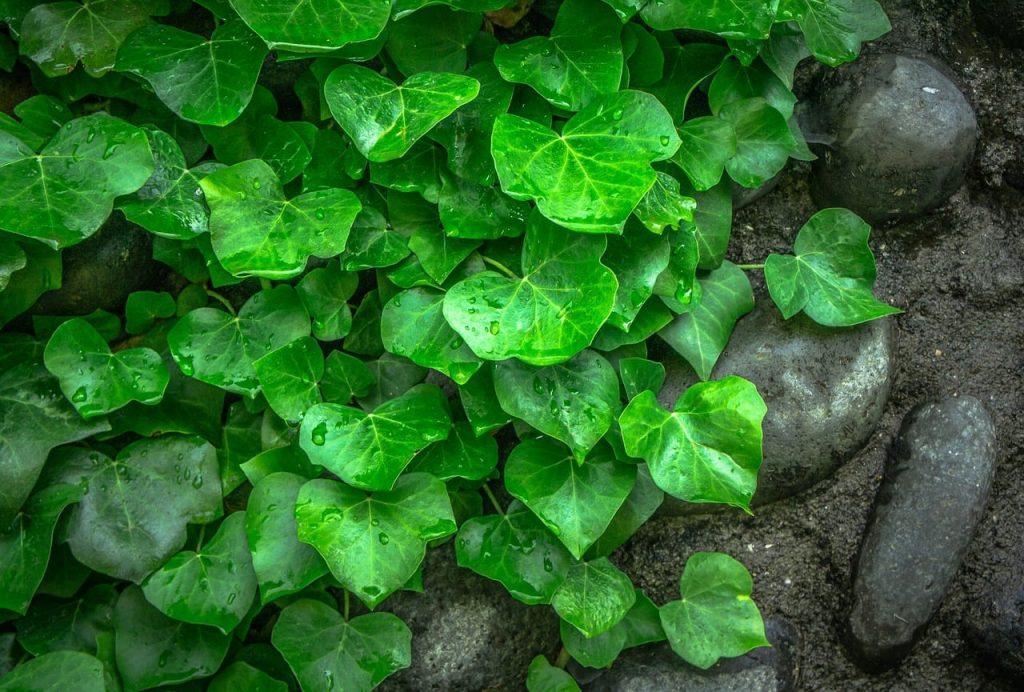 Ivy in low maintenance garden